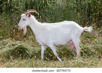 A White goat with horns grazing on the meadow