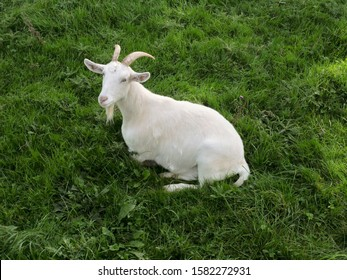 White goat with horns laying on a grass in a field looking up at the viewer.