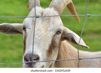A white goat with horns looks through a wire grid against green background in a pasture