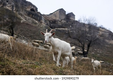 white goat kid grazing with a herd against the background of the ruins of the ancient cave city-fortress Chufut-Kale, Crimea