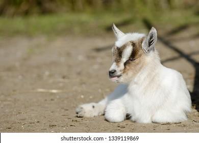 white goat kid lying on pasture