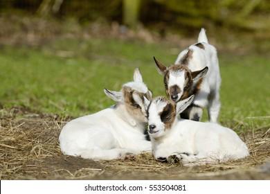 white goat kid  on pasture