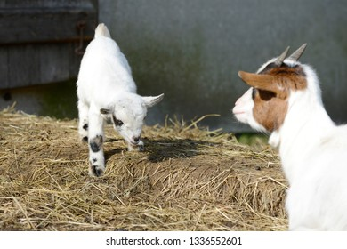 white goat kid standing in front of shed