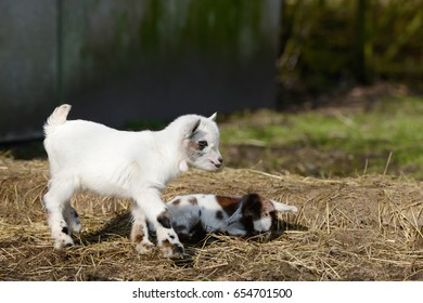 white goat kid standing and goat kid lying on straw