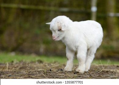 white goat kid standing on pasture and sleep