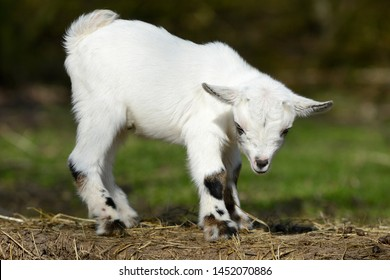 white goat kid standing on straw