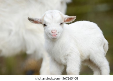 white goat kid standing on meadow
