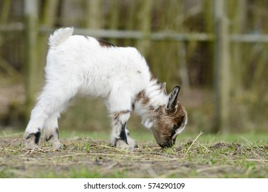 white goat kid standing on pasture