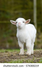 white goat kid standing on pasture