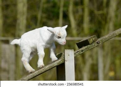 a white goat kids climb