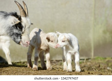 white goat and goat kids  on straw in front of shed