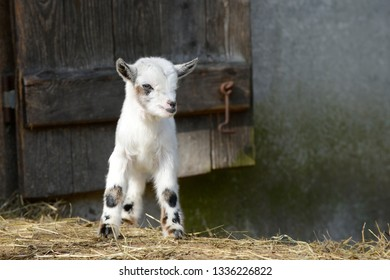 white goat kids standing on straw in front of shed