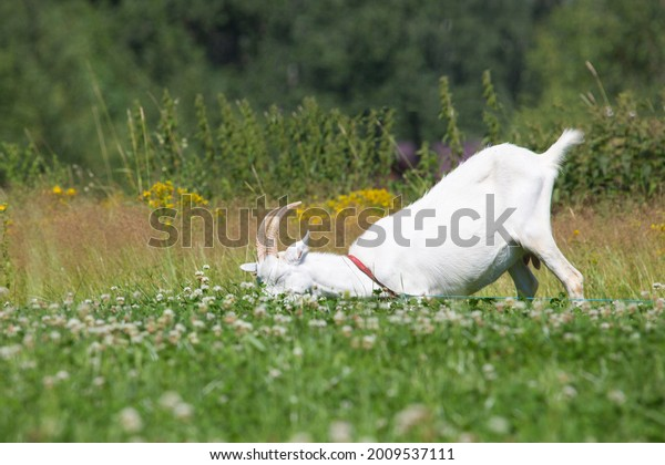 white goat lies on the grass in the meadow on a sunny day. Blurry background. Selective focus on the goat. Concept summer.