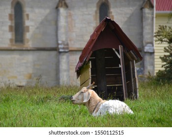 White goat lying in long green grass, tethered to its shelter in the church yard