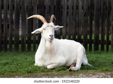 White goat lying on grass, Kielce Countryside Museum, Tokarnia, Poland