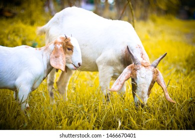 White goat mother and white goat baby eating grass in golden grass fields
