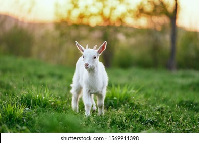white goat nature green grass agriculture