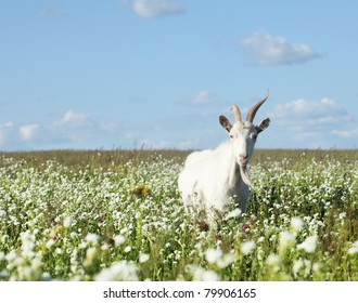 White goat on countryside meadow and blue cloudy sky