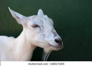 white goat on dark green background domestic animal
