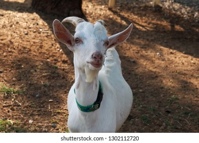 The white goat is on the farm in Lop Buri, Thailand.