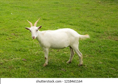 White goat on green field behind the cage.