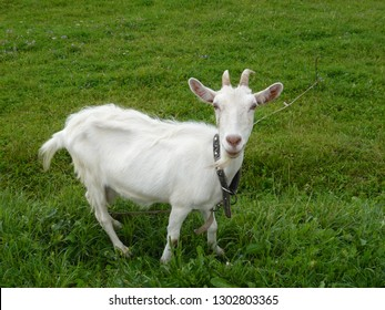 White goat on green to the meadow