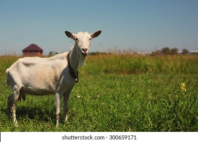 White Goat on the Meadow