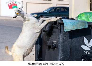 White goat pauses from searching for food in a dumpster to strike a silly pose for the camera. Photo taken in Sur Oman