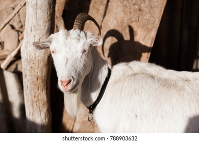 White goat in a pen