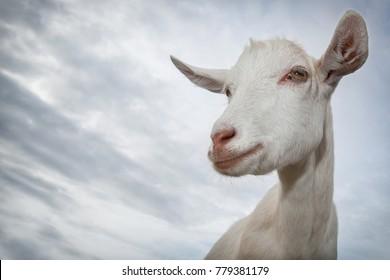 White goat portrait on blue sky background