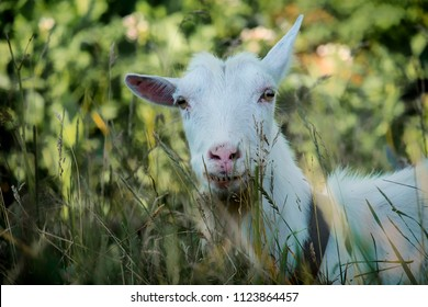 White goat raised one ear (Capra aegagrus hircus)