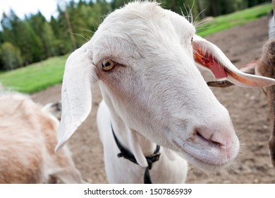 white goat snout close-up wide angle view on summer barnyard outdoor background