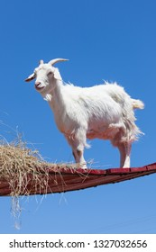 A white goat standing high on a red wooden platform with hay and a background of clear blue sky.