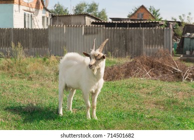 A white goat is standing in a meadow in the countryside