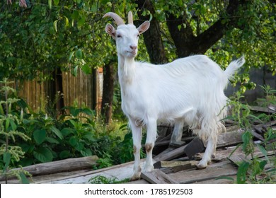 white goat stands on the boards in the old garden among the trees