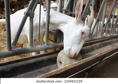 White goat using a lick stone through metal bars in a barn full of hay