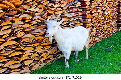 White goat at woodpile. Domestic white goat. White goat