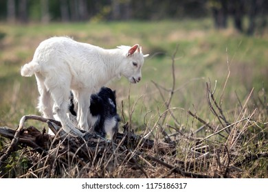 White goatling playing on the old dry branch heap