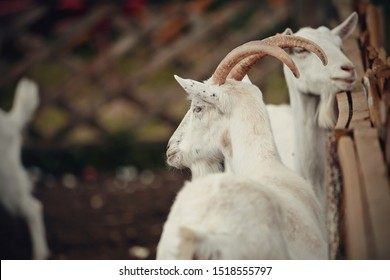 White goats behind the fence in a cattle yard.