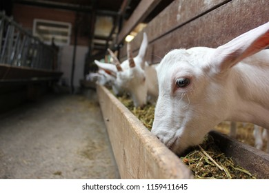 White goats eating hay in a barn