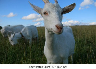 White goats feeding. Goat on farm. Goats eating long fresh green grass. Farming. Agriculture. Domestic animals on farm. Countryside. Outdoors.