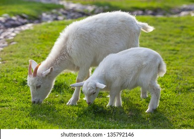 white goats feeding on the farm