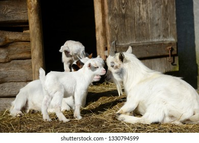 white goats and goat kid  on straw in front of shed