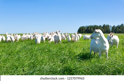 White goats grazing on a green meadow