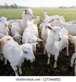 Dutch White Goat Images, Stock Photos & Vectors | Shutterstock
