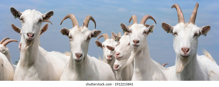 white goats outside in meadow against blue cloudy sky in holland