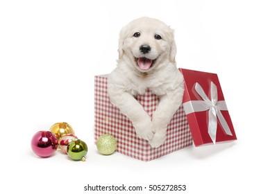 White Golden Retriever Christmas Puppy Gift Box Present Surprise / Labrador