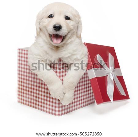 white golden retriever christmas puppy gift box present surprise labrador
