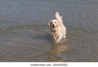 white golden retriever dog portrait standing in sea