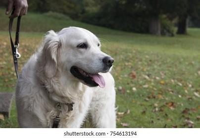 white golden retriever dog portrait
